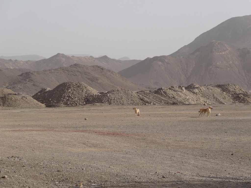 cani randagi nel deserto di Luxor
