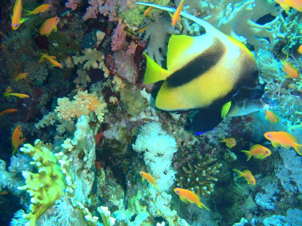 Pesce Farfalla Bandiera Sharm el Sheikh