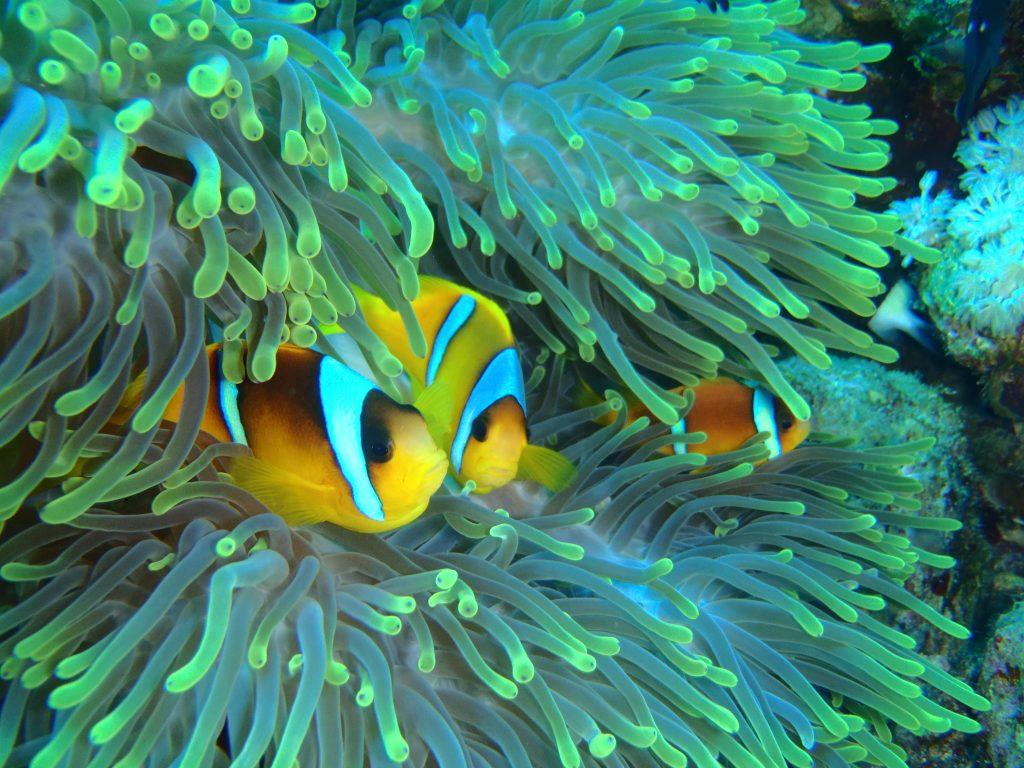 Pesce Pagliaccio Sharm el Sheikh