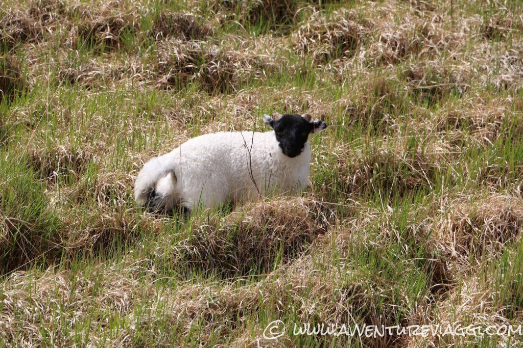 pecorella irlandese