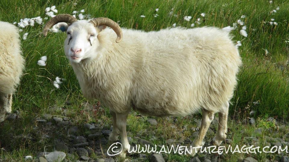 pecora Irlandese