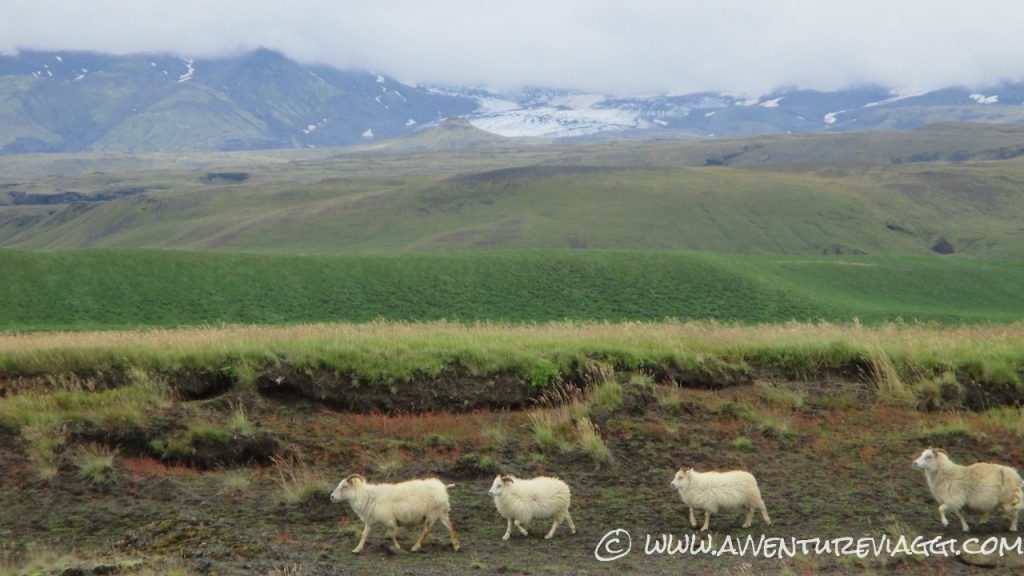 pecore Islandesi