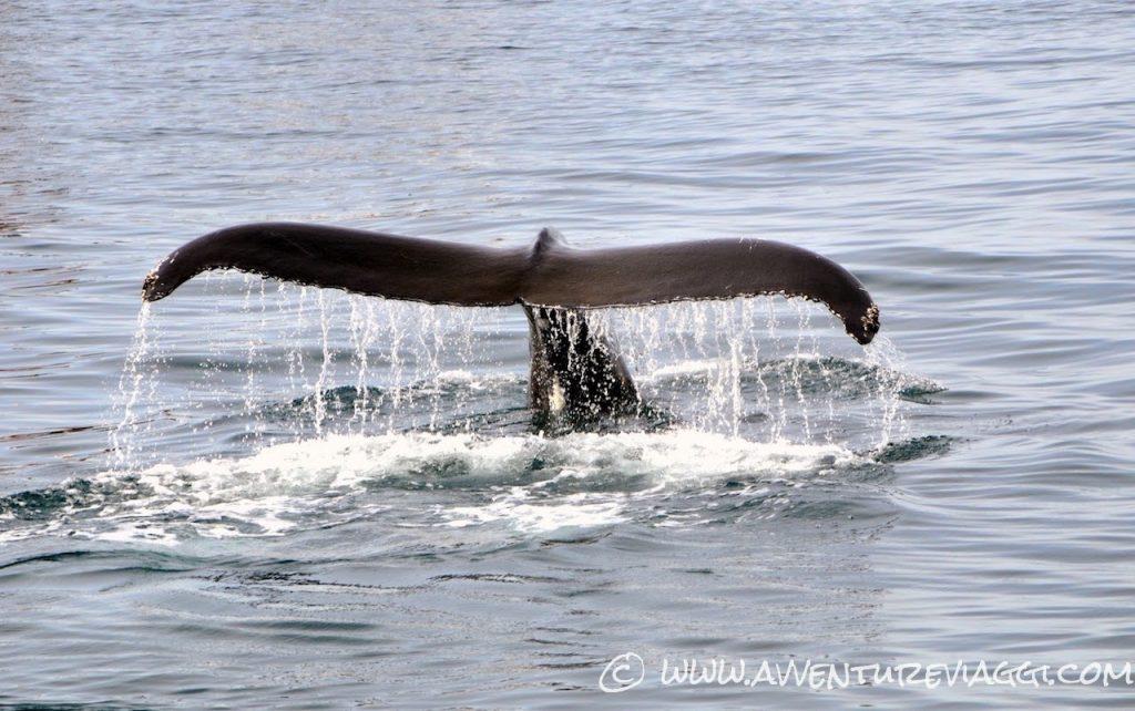 whale Islanda